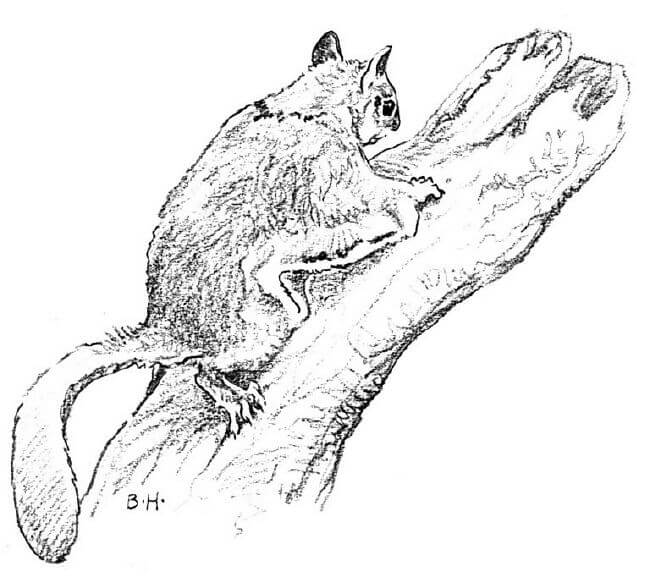 Flying squirrel free coloring pages for Flying squirrel coloring page